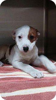 Golden Retriever/Border Collie Mix Puppy for adoption in Sanford, Florida - Red