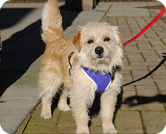 Terrier (Unknown Type, Small) Mix Dog for adoption in Gig Harbor, Washington - Baxter - Adoption Pending