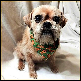 Brussels Griffon Dog for adoption in Seymour, Missouri - JODIE in Rogers, AR.