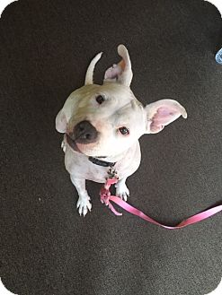 American Staffordshire Terrier Mix Dog for adoption in Long Beach, California - Bella
