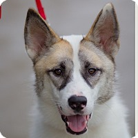 Adopt A Pet :: Snow Cream - Vacaville, CA