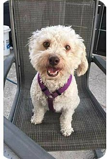 Poodle (Miniature)/Maltese Mix Dog for adoption in Fountain Valley, California - Chester