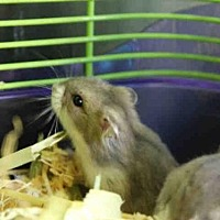 Hamster for adoption in Los Angeles, California - A1677708