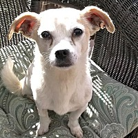 Pug/Chihuahua Mix Dog for adoption in Costa Mesa, California - Cubby