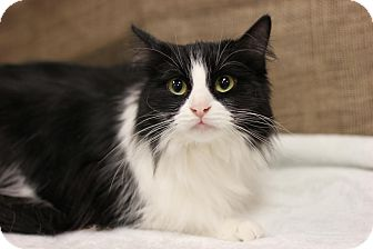 Domestic Longhair Cat for adoption in Midland, Michigan - Zosia