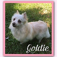 Adopt A Pet :: Goldie - Fort Wayne, IN