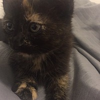 Calico Kitten for adoption in Sunny Isles Beach, Florida - Lena