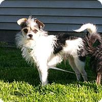 Adopt A Pet :: Scruffy - Schaumburg, IL