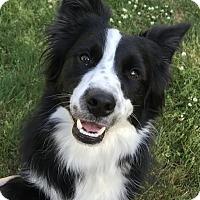 Adopt A Pet :: Angus - Tumwater, WA