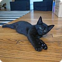 Adopt A Pet :: Nehru - Mississauga, Ontario, ON