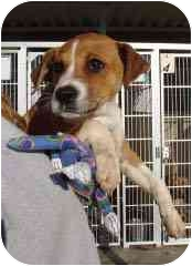 Labrador Retriever/Boxer Mix Puppy for adoption in Hammonton, New Jersey - Frenchy