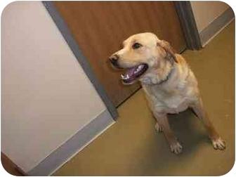 Labrador Retriever Mix Dog for adoption in Little Falls, Minnesota - Smudge