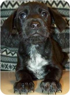 Labrador Retriever Mix Puppy for adoption in North Judson, Indiana - Saturday