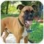 Photo 2 - Boxer Dog for adoption in Thomasville, Georgia - Nicholas