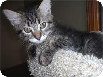 Domestic Mediumhair Kitten for adoption in Naperville, Illinois - Josh-9 weeks