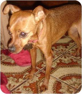Miniature Pinscher/Chihuahua Mix Dog for adoption in Lake Forest, California - Babe
