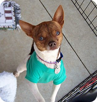 Chihuahua Dog for adoption in Greensboro, Georgia - Romeo