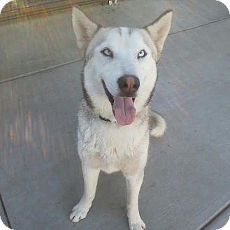 Siberian Husky Dog for adoption in Apple valley, California - Gizmo