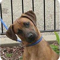 Adopt A Pet :: Solomon - Toronto/Etobicoke/GTA, ON