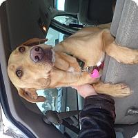 Adopt A Pet :: Maradona - Hagerstown, MD