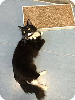 Domestic Mediumhair Cat for adoption in Jackson, New Jersey - Lexus