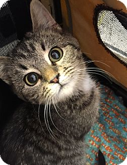American Shorthair Kitten for adoption in Cincinnati, Ohio - Tori: Anderson Twp.