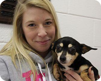 Chihuahua Mix Dog for adoption in Elyria, Ohio - Rosa