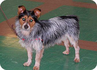 Corgi/Yorkie, Yorkshire Terrier Mix Dog for adoption in Wichita Falls, Texas - Cowboy
