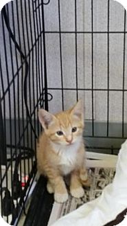 Domestic Mediumhair Kitten for adoption in Visalia, California - Toy