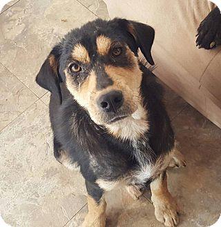 Shepherd (Unknown Type)/Labrador Retriever Mix Puppy for adoption in Lyndhurst, New Jersey - Christopher