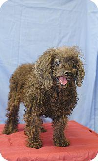 Poodle (Miniature) Mix Dog for adoption in Poteau, Oklahoma - STEVIE