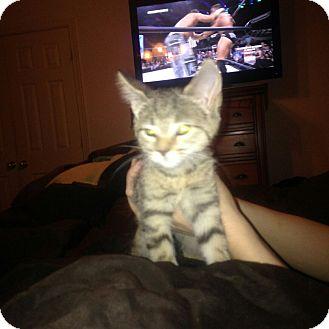 Domestic Shorthair Kitten for adoption in Waldorf, Maryland - Tabby kitten 2