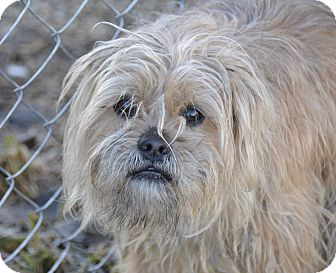 Lhasa Apso/Basset Griffon Vendeen Mix Dog for adoption in Meridian, Idaho - Georgie