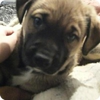 Adopt A Pet :: Puppy 3 - Treton, ON