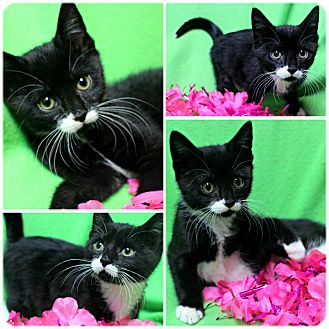 Domestic Shorthair Kitten for adoption in Forked River, New Jersey - Legend
