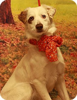 Australian Shepherd Mix Dog for adoption in Twin Falls, Idaho - Cricket