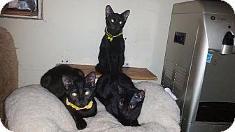 Domestic Shorthair Kitten for adoption in Port Richey, Florida - Louie, Morganna, Bella