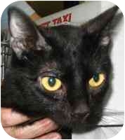 Domestic Shorthair Cat for adoption in West Warwick, Rhode Island - Isabelle