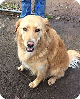 Golden Retriever Dog for adoption in Vancouver, Washington - Pixie