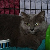 Domestic Mediumhair Cat for adoption in Roscoe, New York - Molly