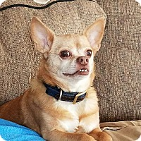 Chihuahua Dog for adoption in Minerva, Ohio - Gizmo