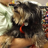 Yorkie, Yorkshire Terrier/Miniature Pinscher Mix Dog for adoption in Memphis, Tennessee - Abby