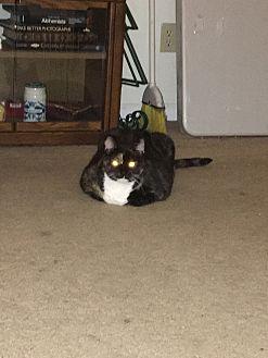 Calico Cat for adoption in Ballwin, Missouri - Mystic