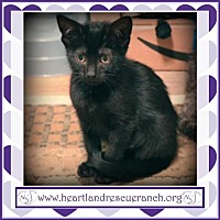 Domestic Shorthair Cat for adoption in Southport, Florida - Gamora
