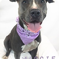 American Pit Bull Terrier/American Staffordshire Terrier Mix Dog for adoption in Toledo, Ohio - Maggie