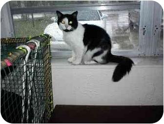 Domestic Mediumhair Kitten for adoption in Miami Beach, Florida - Panthom