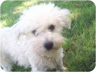 Poodle (Miniature) Mix Dog for adoption in Sacramento, California - Lilac