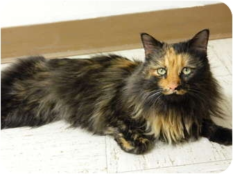Domestic Longhair Cat for adoption in Columbus, Nebraska - Princess