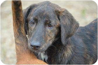 Labrador Retriever/Gordon Setter Mix Puppy for adoption in Stafford Springs, Connecticut - Madison