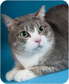 Domestic Shorthair Cat for adoption in Chicago, Illinois - Snapdragon